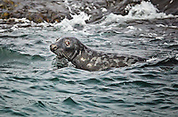 Gray Harbor Seal in the water off Machias Seal Island near Gull Rock