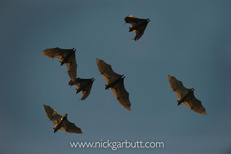 Straw-coloured Fruit Bats (Eidolon helvum) in flight. Returning to their daytime roost after sunrise. Kasanka National Park, Zambia.