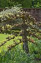Espalier pear tree, Walled Garden, Hinton Ampner, Hampshire.