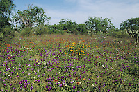 Wildflower field with Wine-Cup (Callirhoe involucrata), Starr County, Rio Grande Valley, Texas, USA