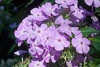Phlox paniculata David's Lavender, a lavender-pink garden phlox