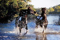 American Paint Horse stallions run through shallow water stream.