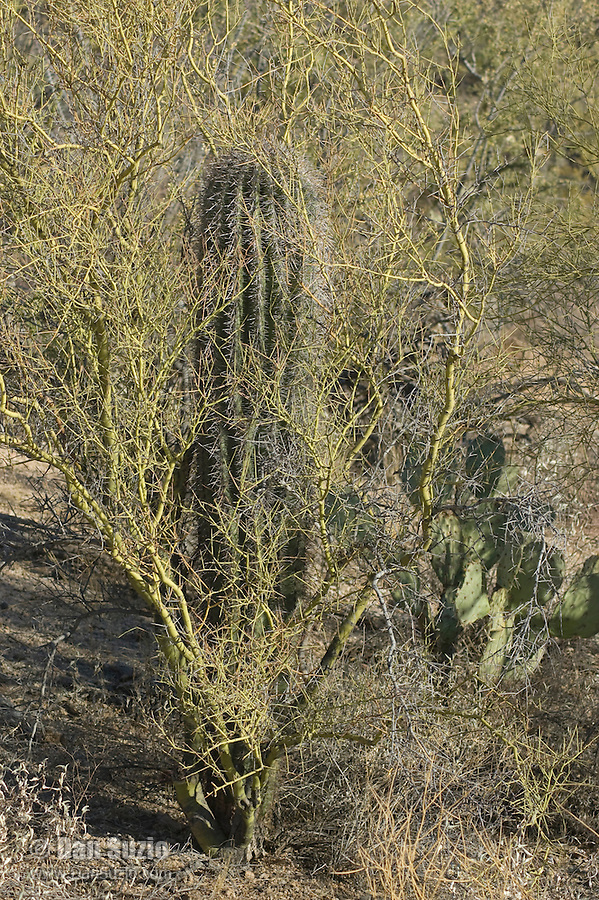 "Saguaro, Carnegiea gigantea, growing in shelter of a shrub. Saguaros often grow under ""nurse plants"" where shade and moisture provide better conditions for germination.  Saguaro National Park, Arizona"
