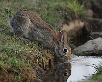 Cottontail Rabbit on the first day of spring, early morning.