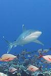 Rangiroa Atoll, Tuamotu Archipelago, French Polynesia; a silvertip shark swimming above a coral reef