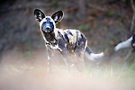 Young Painted Hunting Dog or African Wild Dog (Lycaon pictus) on the banks of the Luangwa River. South Luangwa National Park, Zambia.