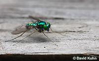 1225-0904  Long-Legged Fly, Family: Dolichopodidae  © David Kuhn/Dwight Kuhn Photography