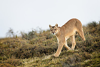 "Wild female Puma (Puma concolor) was hunkered down near a herd of Guanaco for over an hour. They had spotted her but she didn't care. She wanted to stay close as night came and the advantage turned in her favor. Then a ""famous photographer"" decided he needed to get closer and get a clearer view of her. He got between the cat and the Guanaco - and she got up and trotted over the hill. Big shot left the scene. Our guides told us to sit tight as they anticipated she would return to the Guanaco as night fell. They were right! They call her ""Rupestra"" - ""rupestre"" is Spanish for wall art/cave paintings. This cat was born in a cave with these paintings on the walls."