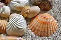 Orange Scallop and White Ark sea shells and beach sand.