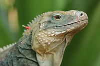 Blue iguana, blue dragon iguana, Cyclura lewisi, Botanical gardens, Grand Cayman, Cayman Islands, Caribbean. endangered species, Endemic species, (c), Atlantic