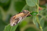 Zickzackspinner, Zickzack-Spinner, Notodontia ziczac, Eligmodonta ziczac, Notodonta ziczac, pebble prominent, Le Bois veiné, Zahnspinner, Notodontidae, prominents