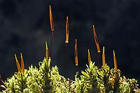 Gedrehtfrüchtiges Glockenhutmoos, Gedrehtfrüchtiger Glockenhut, Encalypta streptocarpa, Encalypta contorta