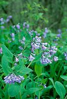 Virginia blue bells, Mertensia virginica, blooming in shade