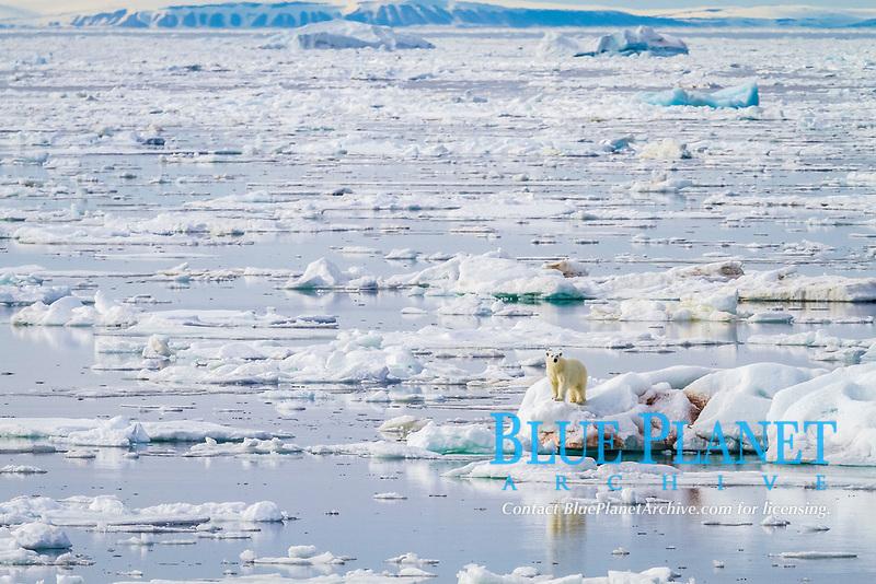 Adult polar bear (Ursus maritimus) on the ice in Bear Sound, Spitsbergen Island, Svalbard, Norway