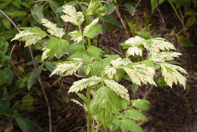 Actaea simplex 'Variegata'