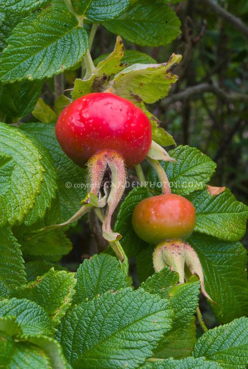 Rosa rugosa 'Rubra' rugosa rosehips roses hips fruit seedheads