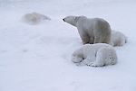 A polar bear stands and surveys the area, while its snow-dusted companions sleep in the snow.<br /> Churchill, Manitoba, Canada