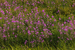 Field of fireweed growing in northern Wisconsin.