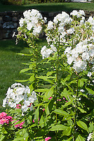 Phlox paniculata 'David' in fragrant white flowers