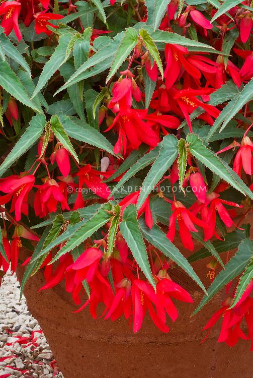 Begonia Million Kisses Devotion ('Yadev') in pot container