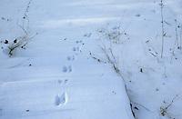 Steenmarter (Martes foina) spoor in diepe sneeuw