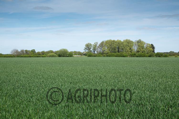 Winter Wheat<br /> Picture Tim Scrivener 07850 303986