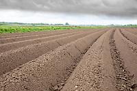 Potato ridges sprayed with residual herbicide following rain  - Licolnshire, April
