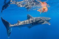 whale shark, Rhincodon typus, swimming past pelagic jellyfish, Thysanostoma loriferum, Honda Bay, Palawan, Philippines, Sulu Sea, Pacific Ocean