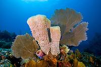 Azure Vase Sponge, Callyspongia plicifera and Common Sea Fan, Gorgonia ventalina, Santa Lucia, Camaguey, Cuba, Caribbean Sea, Atlantic Ocean