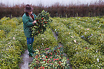 Mistletoe and Holly Christmas Auction. Tenbury Wells, Worcestershire, UK 2007. Woman inspecting holly for red berries befre start of auction.