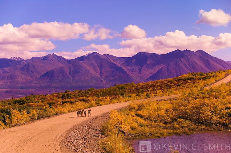 A small herd of Caribou crossing the Denali Highway outside of Cantwell, fall, Alaska, USA.