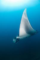 giant oceanic manta ray, Mobula birostris, formerly Manta birostris, Catalina Island, Playa del Coco, Northwest Costa Rica Coast, Republic of Costa Rica, Guanacaste, Pacific Ocean