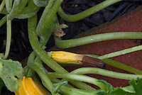 Phytophthora fungus causing rotting end of summer squash striped Sunstripe garden problem, fungal pest disease of vegetable food crop