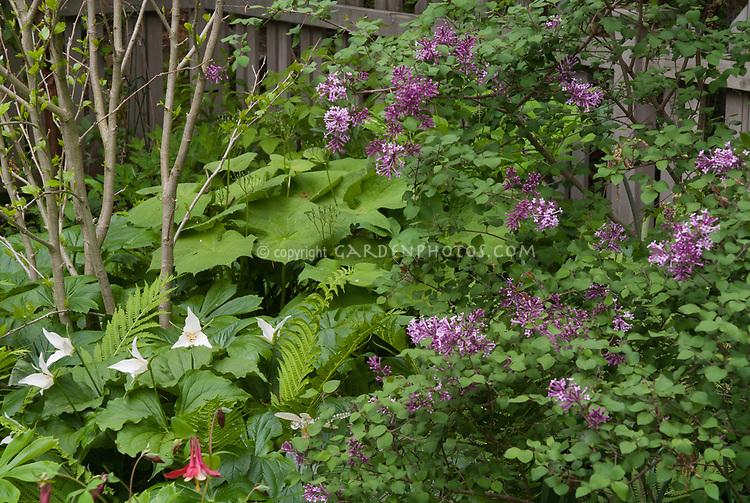 Trillium grandiflorum white with Syringa, columbine aquilegia in spring garden, ferns