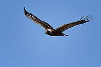 Golden Eagle flying along Wyoming roadside