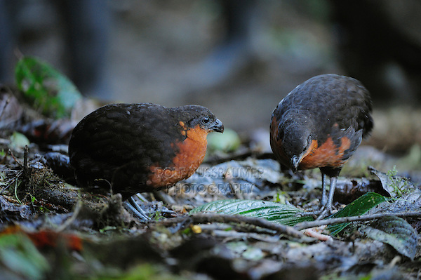Dark-backed Wood-quail (Odontophorus melanonotus), adult,Mindo, Ecuador, Andes, South America