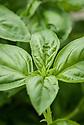 Basil 'Nufar', mid June. An Israeli variety introduced in 1999, resistant to fusarium wilt.