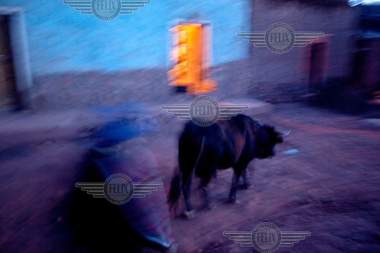 A person walks behind a bull down a road in Macha. <br /> <br /> The people of Macha and surrounding communities carry on the pre-Columbian tradition of ritual fighting. The communities gather on the plaza of Macha to fight and dance in competition with each other. The blood that is spilled is an offering to Mother Earth. In return, the people ask for rain and a good harvest. This ritual is called tinku or fiesta de la cruz since the cross is also engaged in the festivities. The cross is dressed up, given offerings and brought from communities around Macha to the church in town. This syncretic festival melds pagan, pre-christian rituals with Catholic practice. /Felix Features