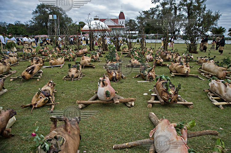 300 slaughtered pigs presented by the nobles of the Ha'a Ngata tribe for the coronation of King George Tupou V.