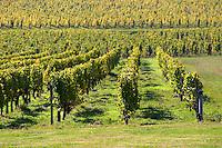 vineyard chateau guiraud sauternes bordeaux france
