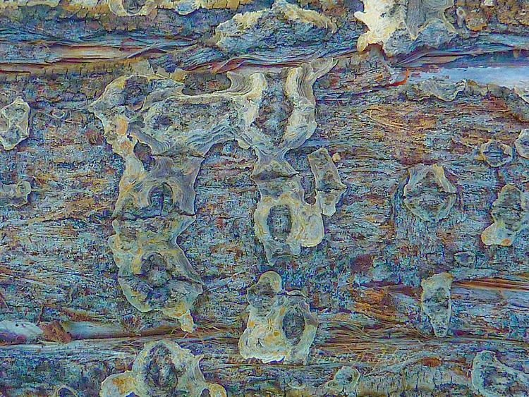 """""""COTTONWOOD WONDER""""<br /> <br /> Macro look at cottonwood tree trunk bark."""