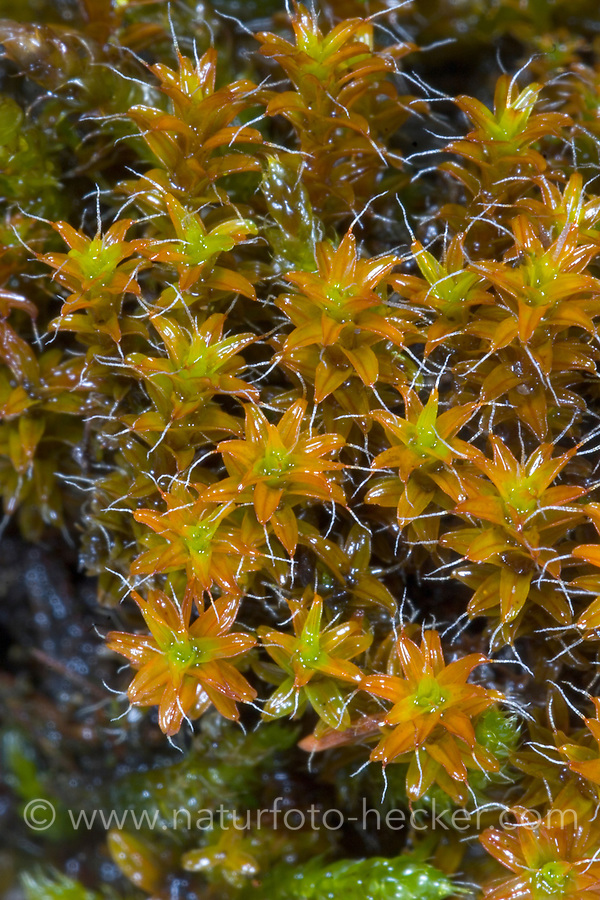 Dach-Drehzahnmoos, Syntrichia ruralis, Tortula ruralis, Barbula ruralis, twisted moss, star moss