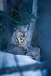 Canada Lynx (Lynx canadensis) mother and eleven month old kittens in winter, Manitoba, Canada