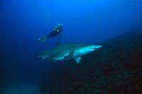 diver and sand tiger or gray nurse shark, Carcharias taurus, Brisbane, Queensland, Australia