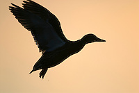MALLARD DUCK (Anas Platyrhynchos) hen flying against early morning sky.  Pacific Northwest.  Winter.