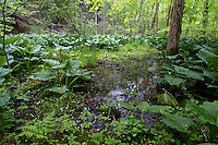 """Vernal pool dominated by Skunk Cabbage (Symplocarpus foetidus - eastern US species). These ephemeral seasonal pools are  devoid of fish, thus providing safe breeding habitat for many species of macroinverterbrates, frogs, salamanders, and turtles. Some organisms are considered """"obligate"""" species, in that they depend on vernal pools for at least part of their life cycles in order to survive. Examples include Fairy Shrimp, Wood Frogs, and Spotted Salamanders."""