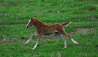 Foal running through a green pasture.