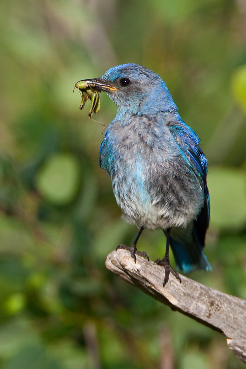 Male Mountain Bluebird with a grasshopper for chicks