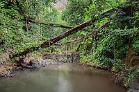 Crisscrossing tree trunks over Nu'unau Stream, Honolulu, O'ahu.