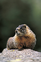 Yellowbellied marmot on rock. Colorado USA Arapaho National Forest.